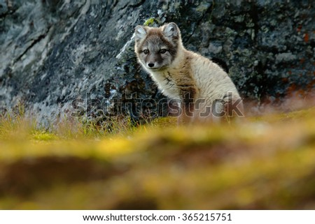 Arctic Fox, Vulpes lagopus, cute animal portrait in the nature habitat, grass meadow with flowers dark rock in the background, Svalbard, Norway  - stock photo