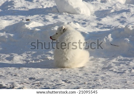 Arctic fox with tongue, sitting in the arctic snow - stock photo