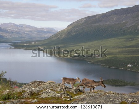 Arctic landscape with two reindeers (mother and child), Kilpisjarvi lake and mountains in the background; photo taken from Salmivaara mountain in Kilpisjarvi, Lapland, Finland - stock photo