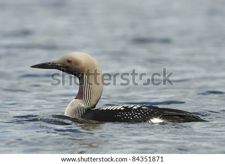 Arctic Loon (Black-throated Diver) in a Swedish Lake