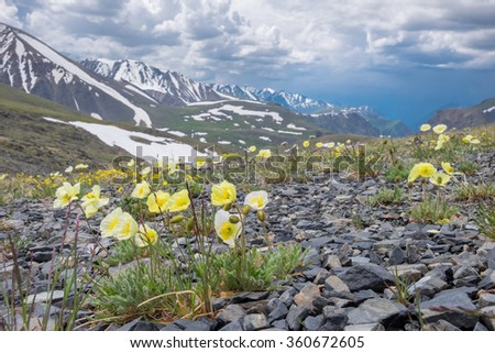 Arctic poppies in the mountains of Central Asia - stock photo