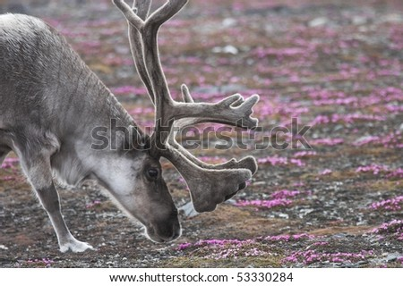 Arctic reindeer on tundra in flower - stock photo