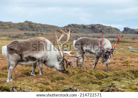 Arctic reindeer prepared to shed their antlers. - stock photo