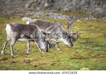Arctic reindeers in their natural habitat - stock photo