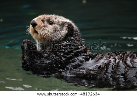 Arctic sea otter playing in the water - stock photo