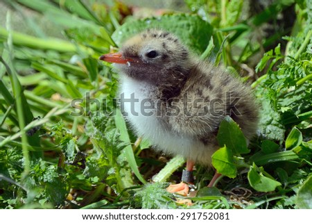 Arctic tern chick, Farne Islands Nature Reserve, England