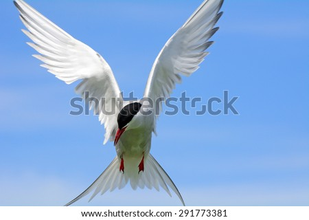 Arctic tern, Farne Islands Nature Reserve, England - stock photo