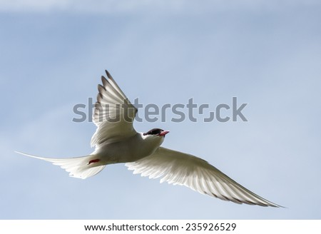 Arctic tern flying past