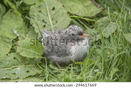 Arctic tern, Sterna paradisaea, chick sitting on the grass