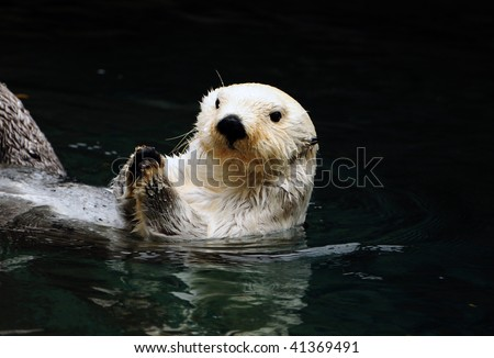 Arctic white otter breaking clam shells with paws before eating them - stock photo