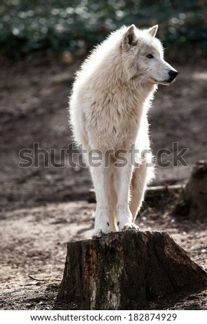 Arctic white wolf  - stock photo
