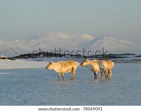 Arctic wild reindeer  - portrait - stock photo