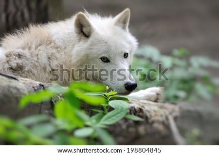 Arctic Wolf (Canis lupus arctos) aka Polar Wolf - stock photo