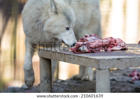 Arctic wolf (Canis lupus arctos) eating raw meat - stock photo