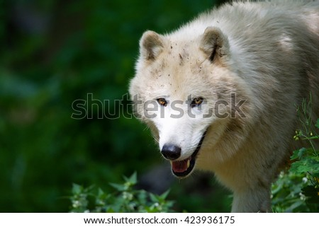 Arctic wolf (Canis lupus tundrarum) portraits of my favorite animal - stock photo