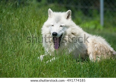 Arctic wolf (Canis lupus tundrarum) portraits of my favorite animal on the grass