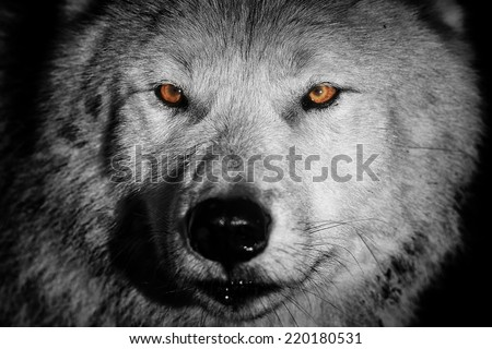 arctic wolf in detail black and white - stock photo