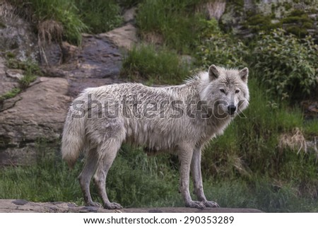 Arctic wolf in summer - stock photo