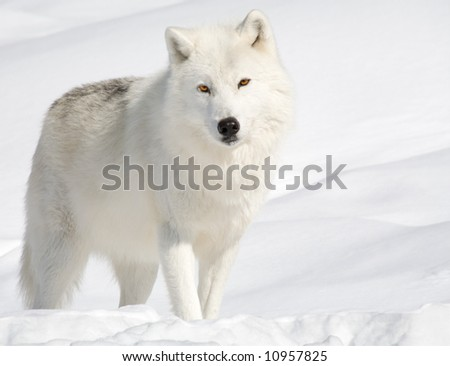 Arctic Wolf in the Snow and Looking at the Camera - stock photo