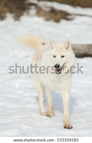 arctic wolf in white winter coat running toward camera in the snow
