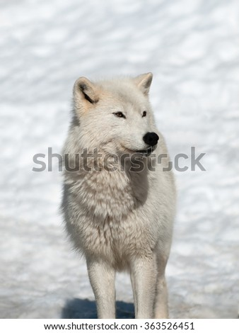 Arctic wolf in winter in natural environment - stock photo
