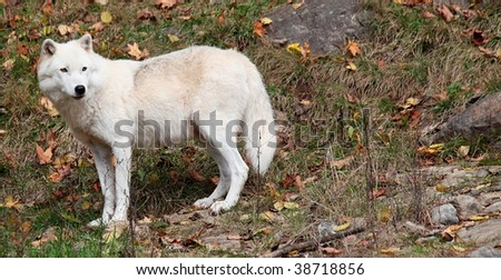Arctic Wolf Looking Back on a Fall Day - stock photo