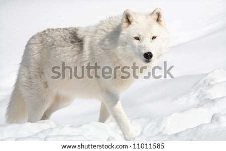 Arctic Wolf Looking Up at the Camera - stock photo