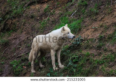 Arctic wolf, Melville Island wolf below slope - stock photo