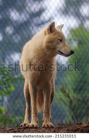 Arctic wolf, Melville Island wolf portrait - stock photo