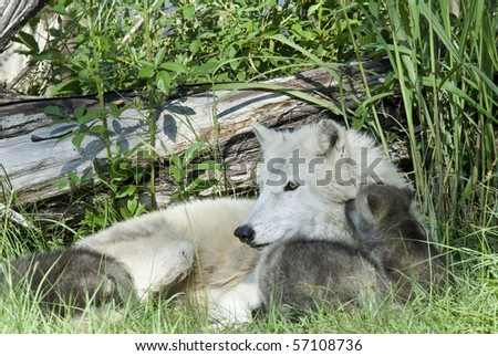arctic wolf mother with puppies - stock photo