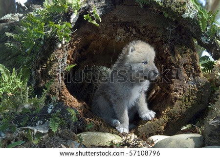 arctic wolf pup in log - stock photo