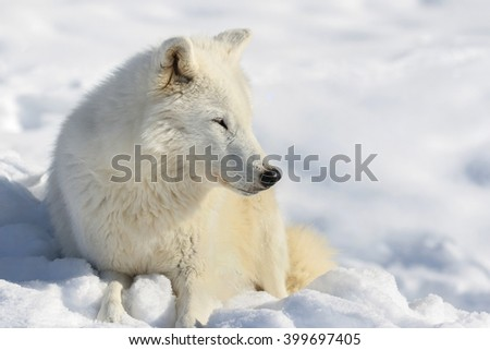 arctic wolf resting in snow