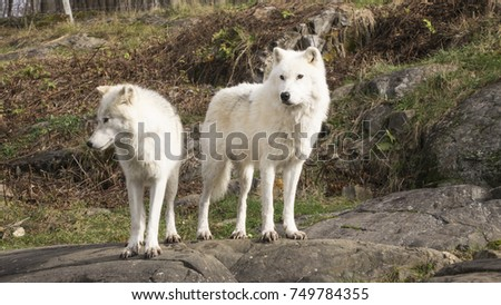 Arctic Wolves in a fall scene