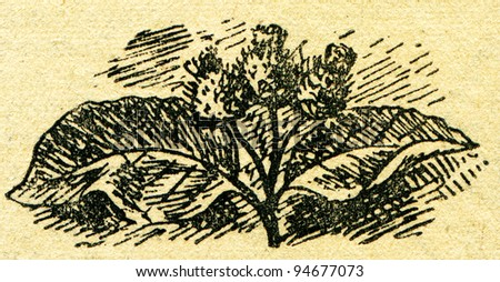 """Arctium lappa, commonly called greater burdock, edible burdock, lappa, or beggar's buttons - an illustration from the book """"In the wake of Robinson Crusoe"""", Moscow, USSR, 1946. Artist Petr Pastukhov - stock photo"""