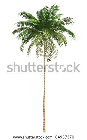 Areca palm tree isolated on white background with clipping path