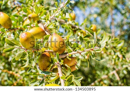 argan fresh fruits on a branch - stock photo