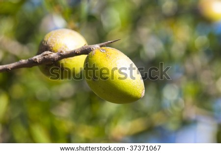 Argan nuts on a branch in a trees in Morocco - stock photo
