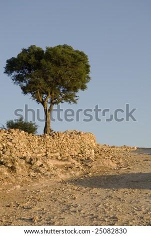 Argan tree (Argania spinosa) in the high Atlas mountains of Morocco - stock photo