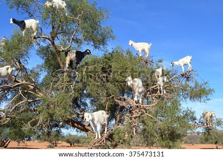 Argan trees and the goats on the way between Marrakesh and Essaouira in Morocco. - stock photo