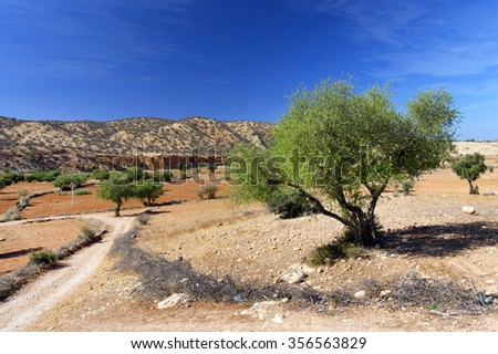 Argan trees (Argania spinosa), cultivated for the oil (argan oil) that is found in the fruit - stock photo