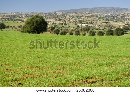 Argan trees (Argania spinosa) in green field with a valley in the background - stock photo