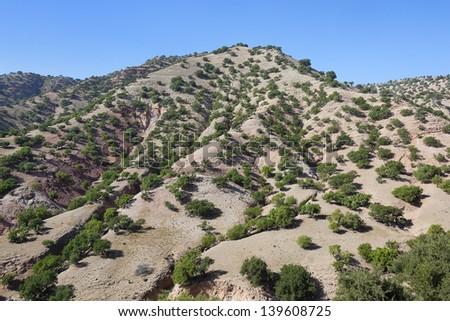 Argan trees (Argania spinosa) on a hill. - stock photo
