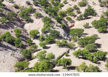Argan trees (Argania spinosa). The tree is cultivated for the argan oil that is found in the fruit. The argan tree is an endangered species and is protected by UNESCO. - stock photo