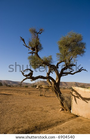 Argana tree (local name of this plant) in the Morocco desert, near Agadir city - stock photo