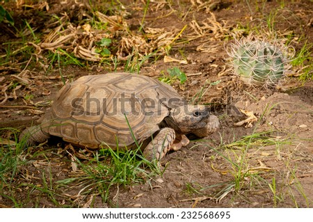 Argentine tortoise (Chelonoidis chilensis) next to a Rose Easter Lily Cactus (Echinopsis leucantha). Argentina, South America.