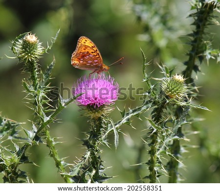 Arginnide butterfly longwing milk thistle feed - stock photo