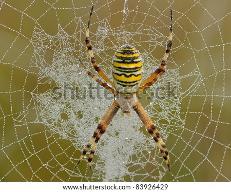 Argiope Bruennichi (wasp-spider/tigerspider) hanging steadily in her web with a lot of dewdrops waiting for a victim