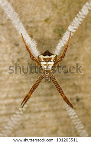 Argiope spider and web, Borneo. - stock photo