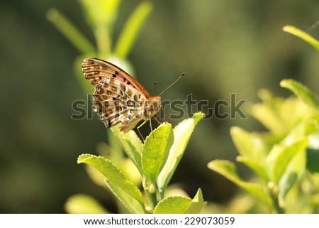 Argyreus Hyperbius_Tsumaguro Hyomon butterfly in Japan - stock photo
