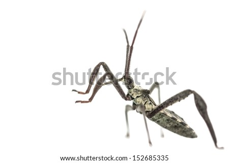 Arilus cristatus, young adult Assassin bug, with raised forelegs in a defensive position. Close up, on white